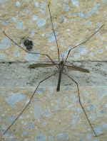 [Bild: Kärrharkrank (Tipula paludosa Tipulidae), hane]