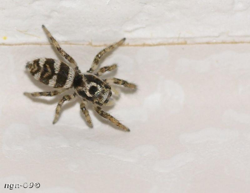 [Bild: Sebraspindel (Salticus scenicus Salticidae)]