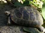 [Bild: Sköldpadda i Turkiet]