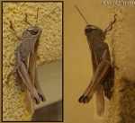 [Bild: Gräshoppa i Turkiet]