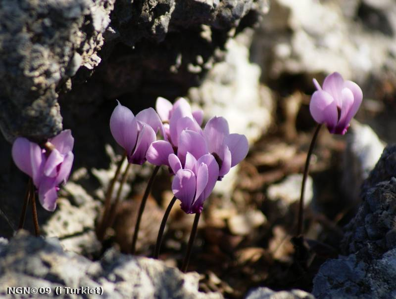 [Bild: Cyklamen (Cyclamen persicum) i Turkiet]