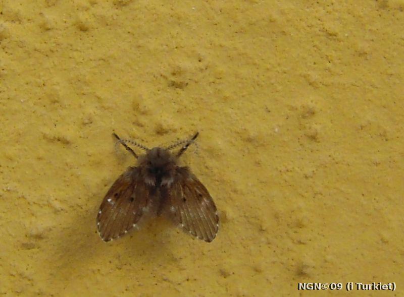 [Bild: Fjärilsmygga (Psychoda alternata Psychodidae) i Turkiet]