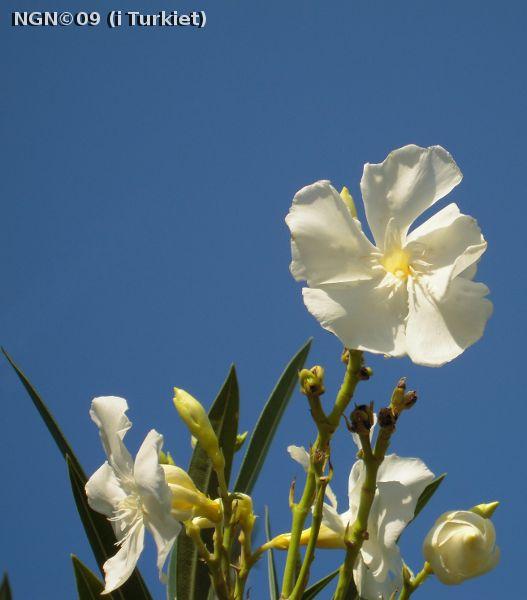 [Bild: Blomma, i Turkiet]