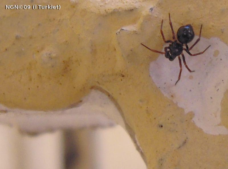 [Bild: Spindel  i Turkiet]