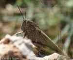 [Bild: Gräshoppa, i Turkiet]