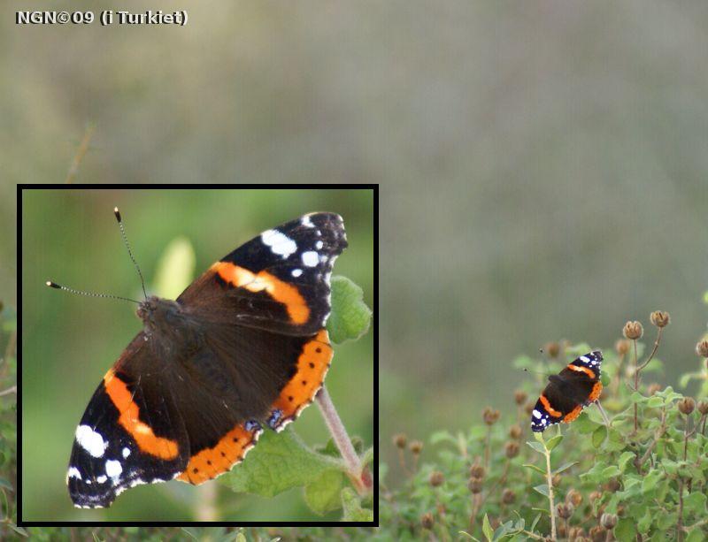 [Bild: Fjäril i Turkiet]