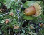 [Bild: Taggbuskefrukt, i Turkiet]