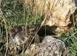 [Bild: Turkisk landsköldpadda (Testudo graeca ibera), i Turkiet]