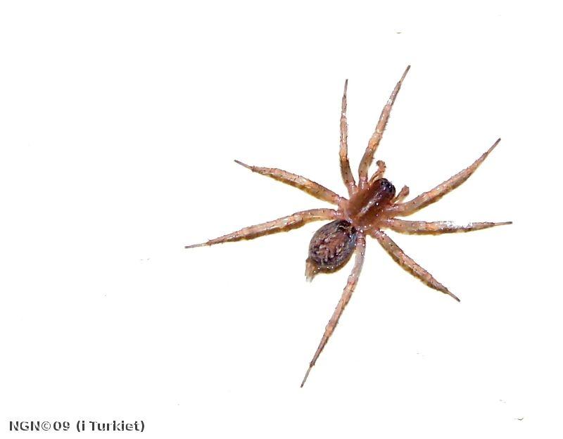 [Bild: Spindel, i Turkiet]