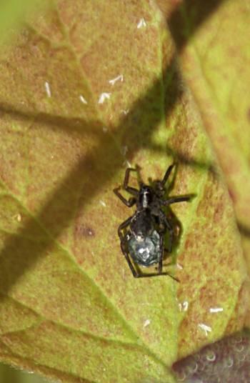 [Bild: Vargspindel (Lycosidae)]