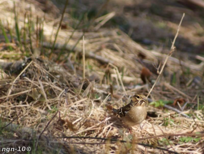 [Bild: Bofink (Fringilla c coelebes), hona]