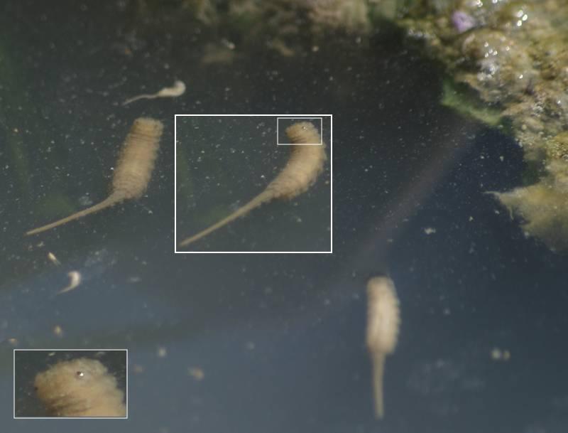 [Bild: Slamfluglarv (Eristalis sp.)