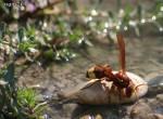 [Bild: Geting, inget Svenskt namn [en; Oriental Hornet] (Vespa orientalis)]