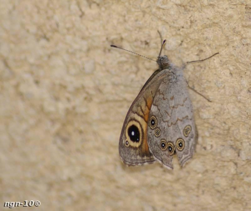 [Bild: Svingelgräsfjäril (Lasiommata megera)]