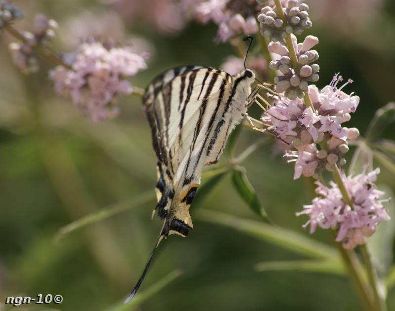 [Bild: Segelfjäril (Iphiclides Podalirius)]