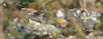 [Bild: Ödla, troligtvis; Erhards Wall Lizard (Podarcis erhardii), Hona]