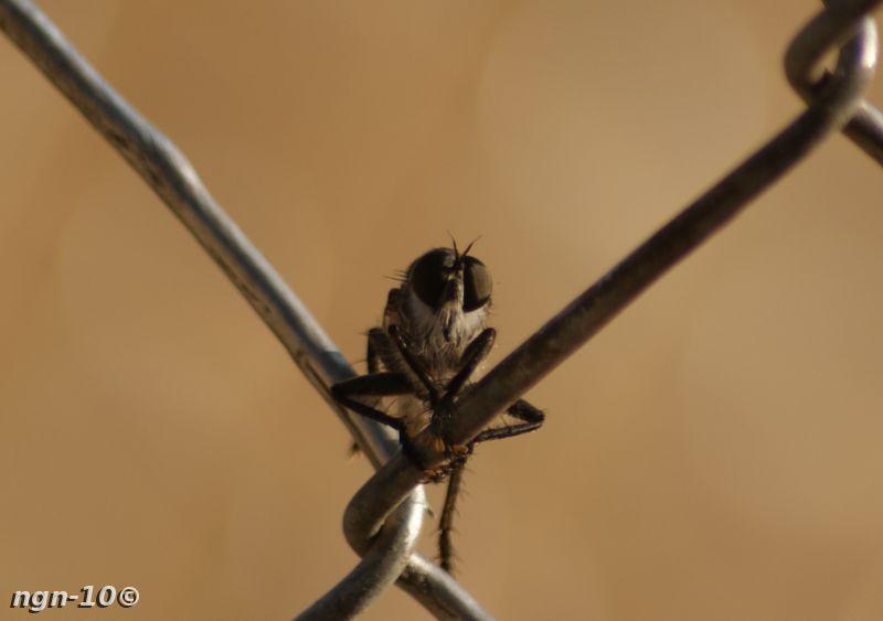[Bild: Rovfluga (Inte en susning)]