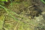 [Bild: Kopparödlor (Anguis fragilis)]