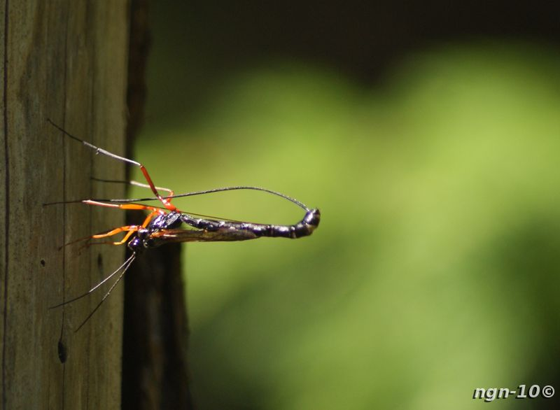[Bild: Parasitstekel (Lissonota setosa)]