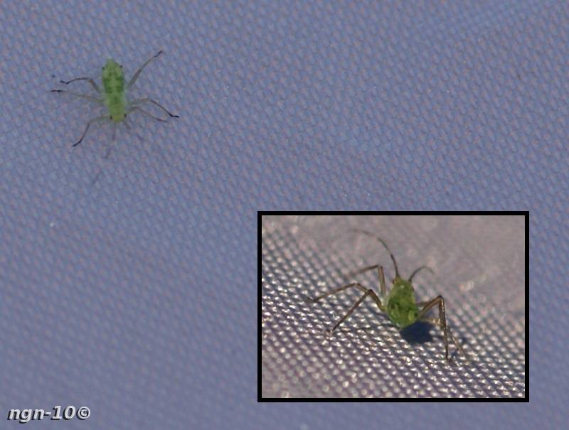 [Bild: Bladlus (Aphidoidea)]