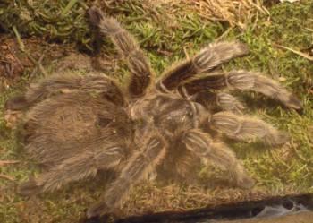 [Bild: Chilespindel (Grammostola rosea)]