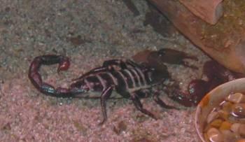 [Bild: Afrikansk kejsarskorpion (Pandinus imperator)]