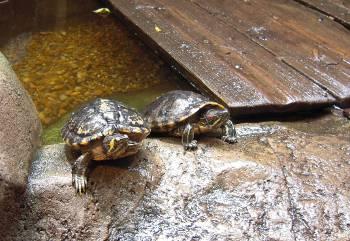 [Bild: Kärrsköldpaddor (Trachemys scripta scripta & T. s. elegans)]