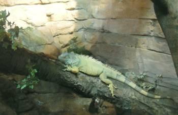 [Bild: Grön leguan (Iguana iguana)]