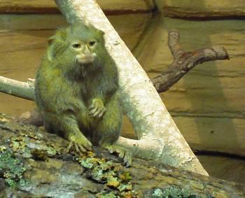 [Bild: Dvärgssilkesapa (Cebuella pygmea)]
