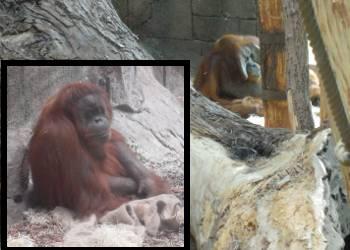[Bild: Orangutanger (Pongo pygmaeus)]
