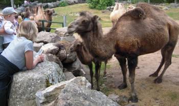 [Bild: Tova & Kameler (Camelus bactrianus)]