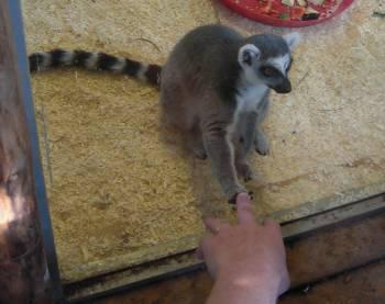 [Bild: Ringsvanslemur (Lemur catta)]