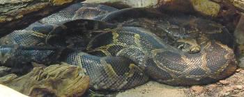 [Bild: Tigerpyton (Python molurus bivittatus)]