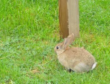 [Bild: Europeisk kanin (Oryctolagus cuniculus)]