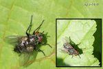 [Bild: Parasitfluga (Phryxe vulgaris) och Allmän köttfluga (Sarcophaga carnaria)]