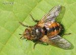 [Bild: Parasitfluga (Tachina fera)]