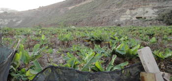Bananplantage, Las Palmas