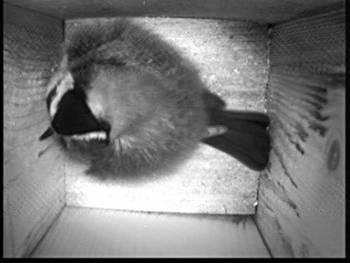 [Bild: Fågelholk, västra balkongen, Talgoxe]