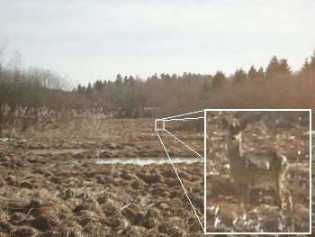 [Bild: Rådjur vid Onsjökärret]