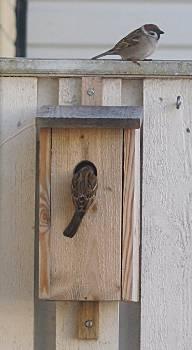 [Bild: Ett pilfinkspar inspekterar den västra holken]