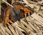 [Bild: Nässelfjäril (Nymphalis urticae eller Aglais urticae)]