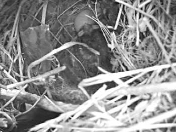 [Bild: Östra holken, pilfinksungar (2st) och okläckta ägg (2st)]