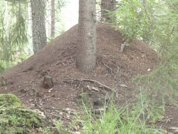 [Bild: Hunneberg, Röd Skogsmyra [Stackmyror] (Formica rufa)]