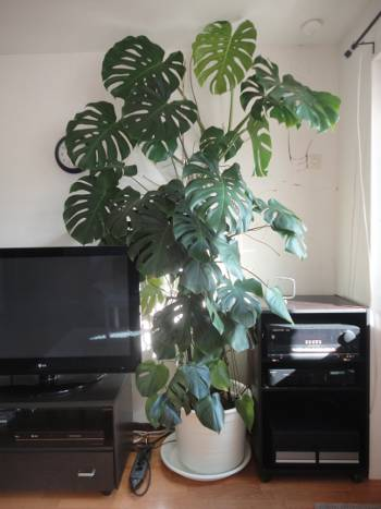 [Bild: Monstera monstera]