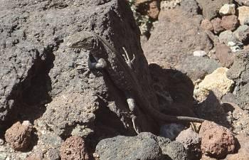 [Bild: Nyfiken Tenerife Lizard]