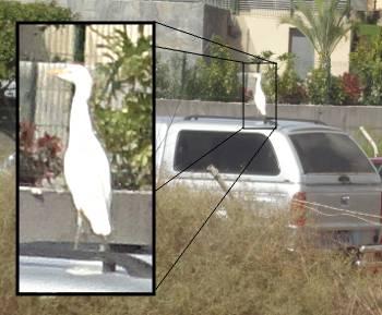 [Bild: Liten vit hägerfågel på biltak]