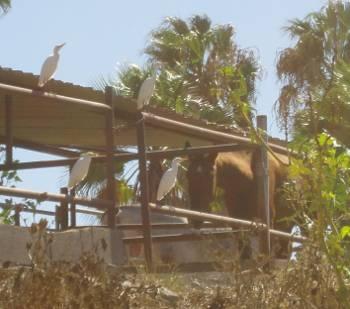 [Bild: 4 små hägerfåglar vid ett stall för hästar]