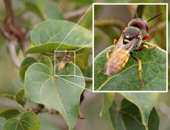 [Bild: Blomfluga (Syrphidae) vid balkongen. Teneriffa.]