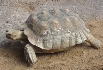 [Bild: 'African Spurred Tortoises', Loro Park, Pt Cruz, Teneriffa]