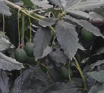 [Bild: Avocadoträd, Icod, Teneriffa]
